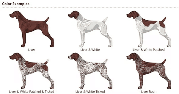 German Shorthaired Pointer: An Active And Popular Breed In ...