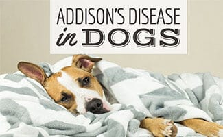 Dog sick on bed (Caption: Addison's Disease In Dogs)