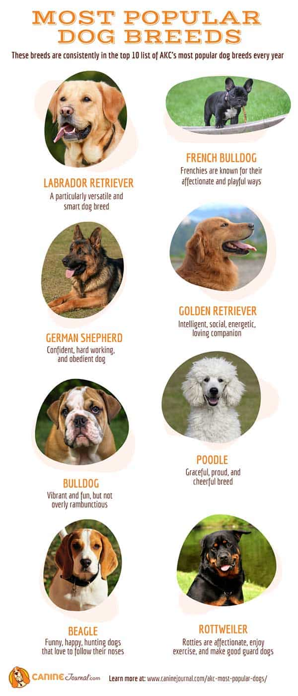 AKC Most Popular Dogs Infographic