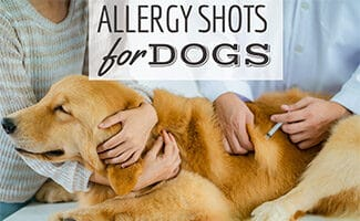 Golden getting a shot from two people holding dog (Caption: Allergy Shots For Dogs)