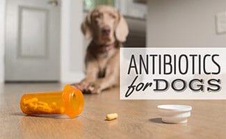 Dog sitting on floor next to jar of pills (Caption: Antibiotics For Dogs)