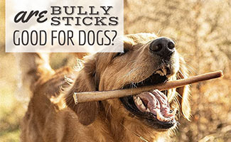 Dog with bully stick in mouth (caption: Are Bully Sticks Good For Dogs?)