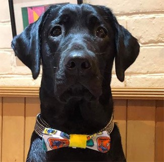 Baggy the black lab in bowtie