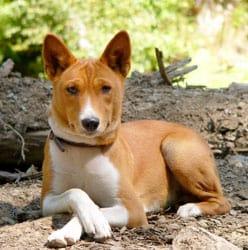 The Basenji dog is a low shedding dog