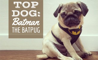 Batman the Batpug sitting on the floor