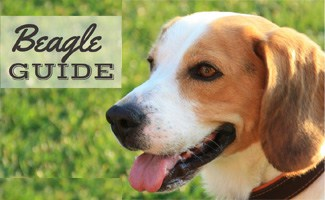 Beagle: The Funny Breed