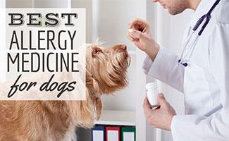 Vet giving pill to dog (Caption: Best Allergy Medicine For Dogs)