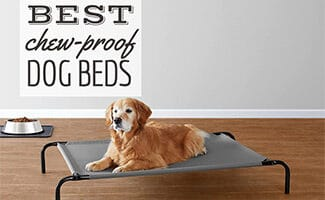 Old Golden dog laying on elevated dog bed (Caption: Best Chew Proof Dog Beds)