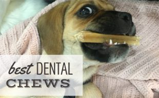 Dog chewing on dental stick: Best Dental Chews for Dogs