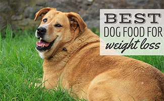 Overweight lab in grass (caption: Best Dog Food for Weight Loss)