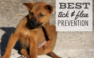 Dog scratching fleas (text in image: Best tick & flea prevention)