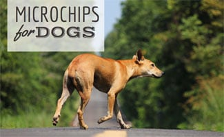 Microchipped Dog Walking: Microchips for Dogs