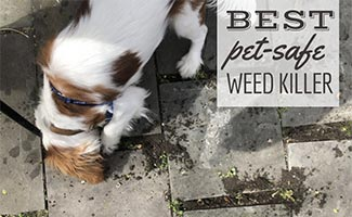 Dog eating weeds on patio pavers (caption: Best Pet-Safe Weed Killer)
