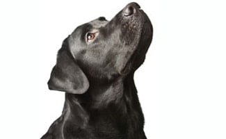 Black Lab Retriever