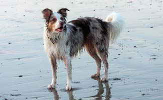 Border Collie wet at the beach