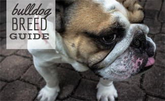 Bulldog: Bulldog Breed Guide