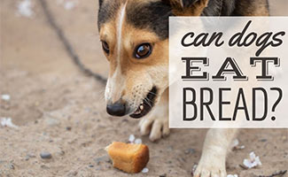Dog eating piece of bread (caption: Can Dogs Eat Bread)