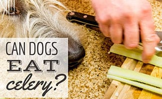 Dog next to woman chopping celery (caption: Can Dogs Eat Celery?)