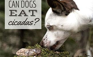 Dog sniffing Cicada (caption: Can Dogs Eat Cicadas?)