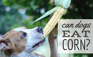 Dog eating ear of corn (Caption: Can Dogs Eat Corn?)