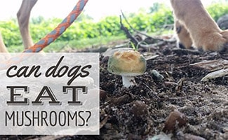 Dog walking through nature with mushroom growing in ground (caption: Can Dogs Eat Mushrooms?)