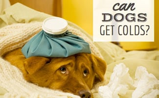 Can Dogs Get Colds: Dog sick on bed