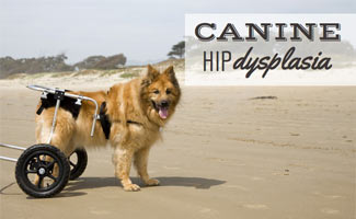Dog in wheelchair on beach (caption: Canine Hip Dysplasia)