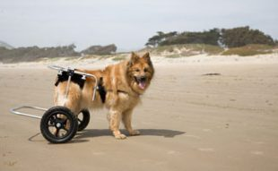 Canine On Beach in Wheelchair