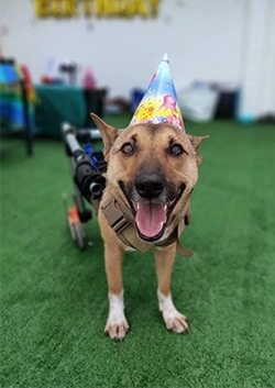 Cash dog on backleg canine wheelchair with party hat
