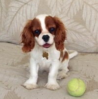 Cavalier rescue puppy with tennis ball on couch