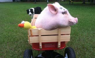 Chris P Bacon in wagon