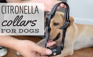 Citronella Dog Collar with dog (caption: Citronella Collars For dogs)