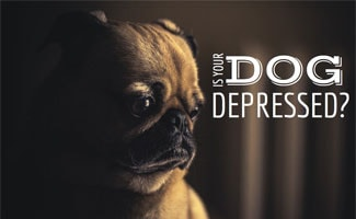 Sad dog in the dark: Clomipramine for Dogs