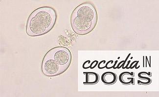 Coccidia cells under microscope (caption: Coccidia In Dogs)
