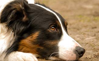 Collie laying on ground