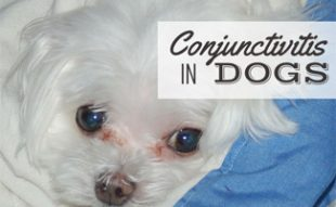 Maltese dog with pink eyes (caption: Conjunctivitis In Dogs)