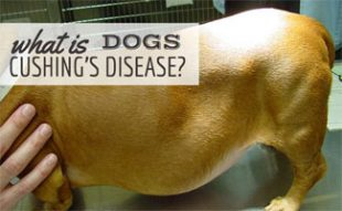 Dog with cushing's disease on vet table