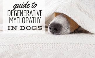 Dog sick on bed (caption: Degenerative Myelopathy In Dogs)
