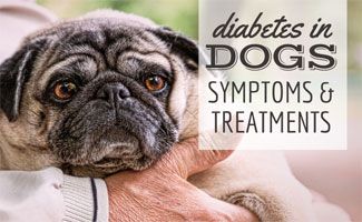 Old pug in man's arm (text in image: Diabetes in dogs symptoms & treatments)