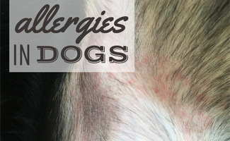 Dog Allergy Symptoms Watch For Scratching Caninejournal Com