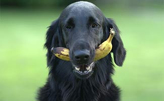 Dog with banana in mouth