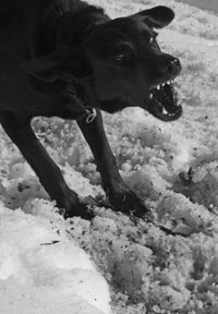 Black dog barking with teeth