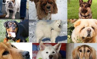 Top 10 Most Expensive Dog Breeds Caninejournal Com