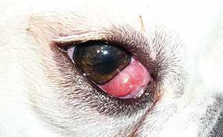 Cherry Eye in a dog's eye