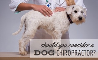 Dog at doctor: Should You Consider a Dog Chiropractor?