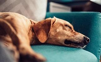Brown dog laying on green sofa dreaming
