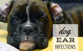 Dog Ear Infection: dog laying with ears flopped open