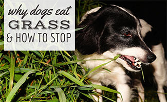 Dog eating grass (caption: Why Dogs Eat Grass: How To Stop)