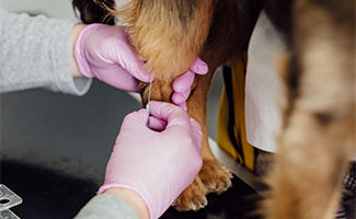 Dog getting needle in paw