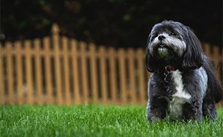Dog in fenced yard